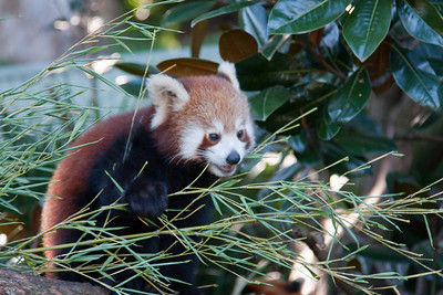 Red Panda, taronga Zoo, Sydney, Australia