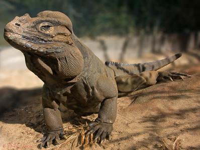 Rhinocerous Iguana. Taronga Zoo, Sydney.