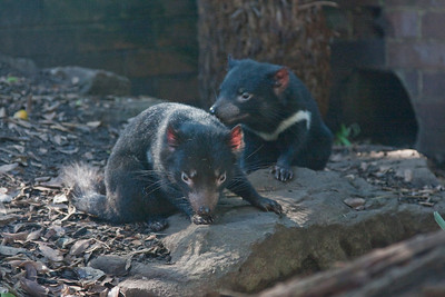 Tasmanian Devils at Taronga Zoo, Sydney, Australia. Highly endangered.