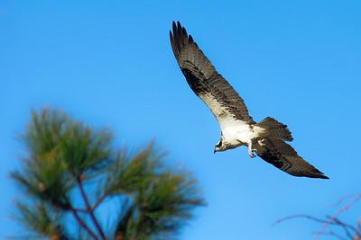 Maryland Osprey