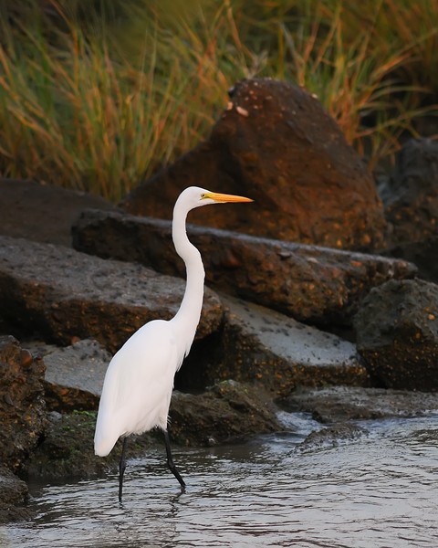 Sept 23rd,  With a nice sunrise this morning the Egrets were out fishing pretty heavily.  Great light for a beautiful bird!  Enjoy!