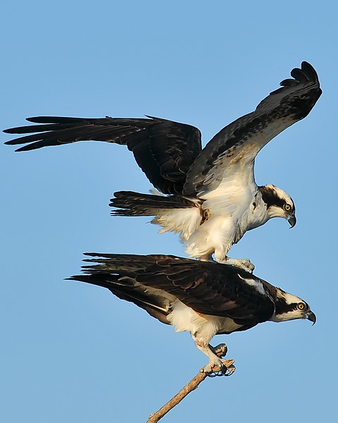 Mar 31st,  I took the long way to work this morning since the sun was out for the first time in days.  The Osprey are back in full now, so I stopped by to see some old friends.  Didn't have much time to shoot, but grabbed a few photos along the way.