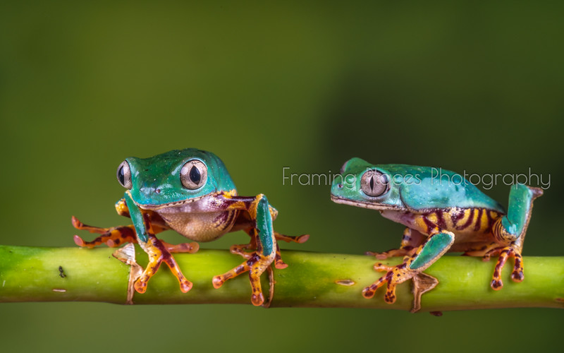 Frog Meeting