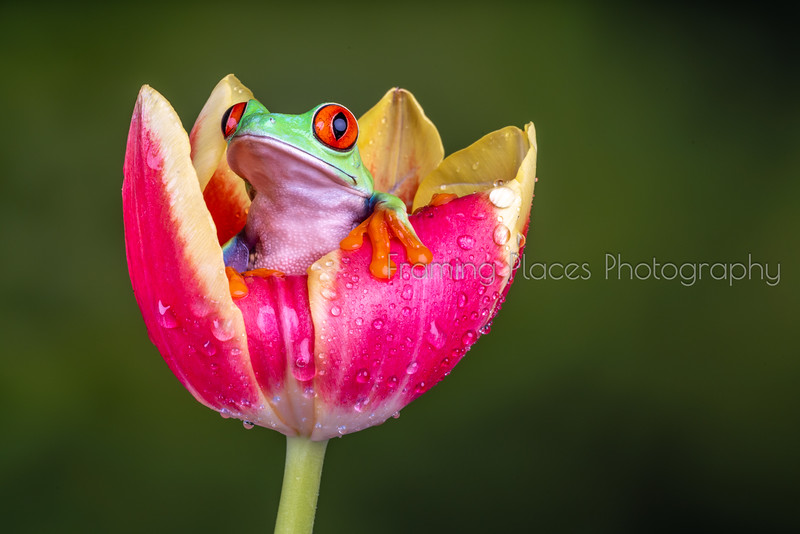 Frog in Tulip #4