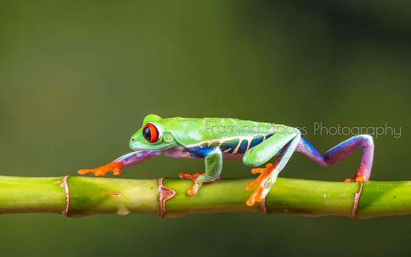 Walking Tree Frog