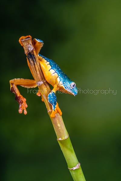 Downward Frog