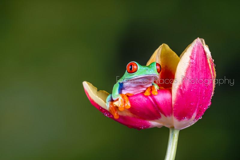Frog in Tulip #2