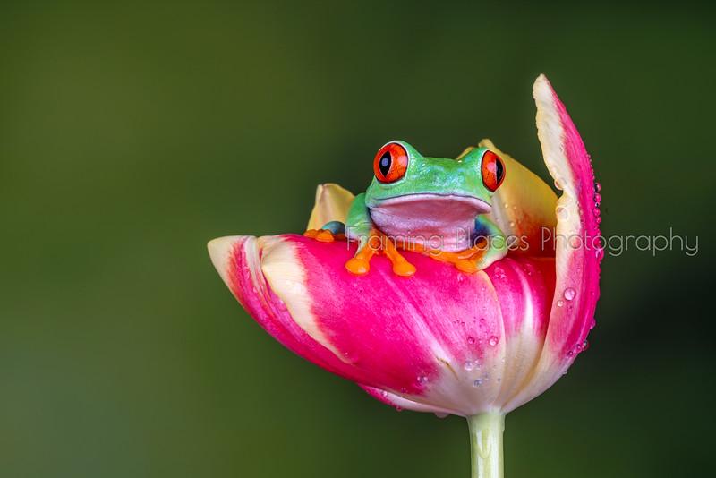 Frog in Tulip #3