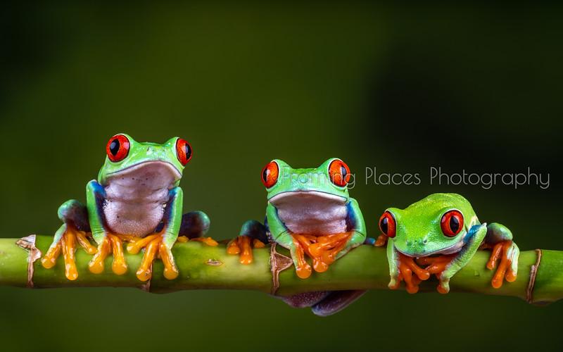 Three Frog Amigos
