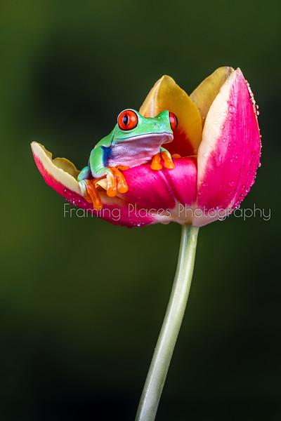 Frog in Tulip Portrait #1
