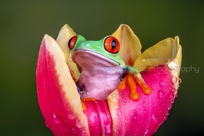 Frog in Tulip #5