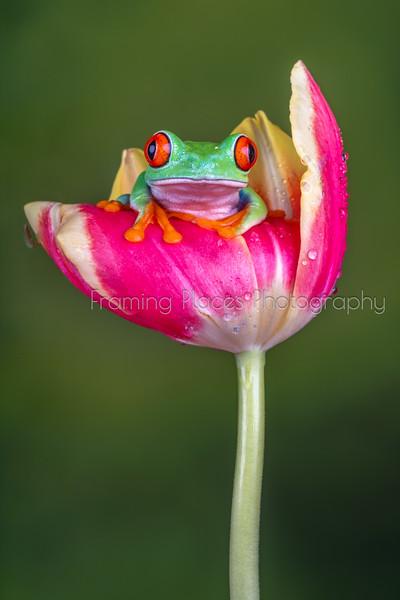 Frog in Tulip Portrait #2