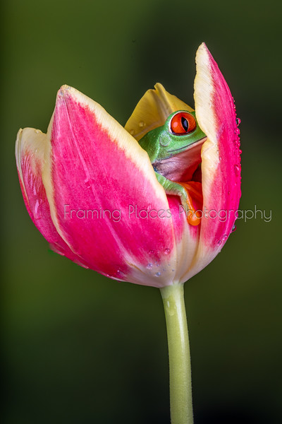 Frog Hiding in Tulip