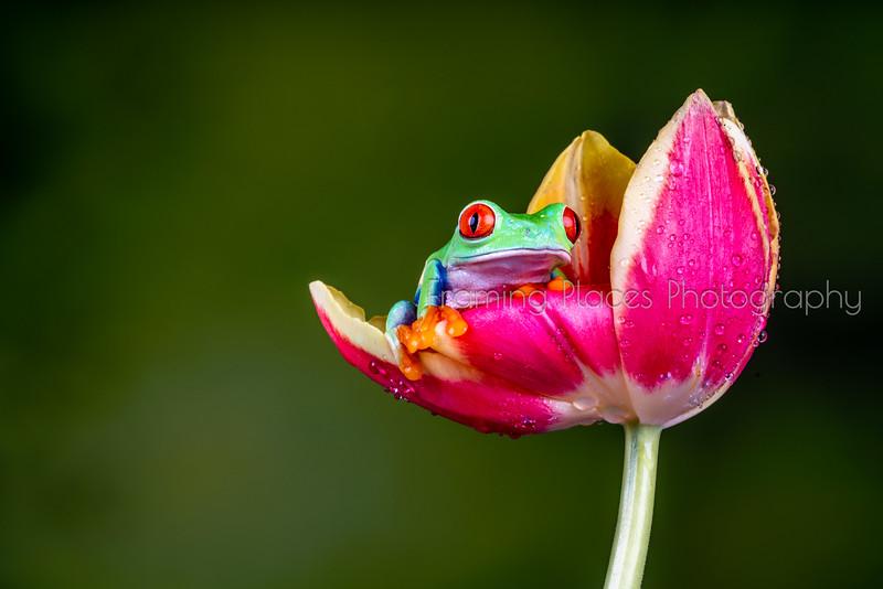 Frog in Tulip #1