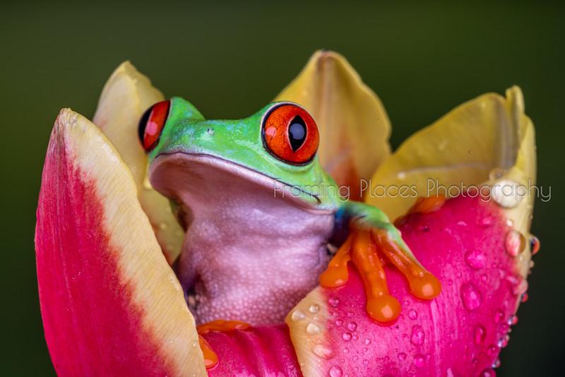 Frog in Tulip Close-Up