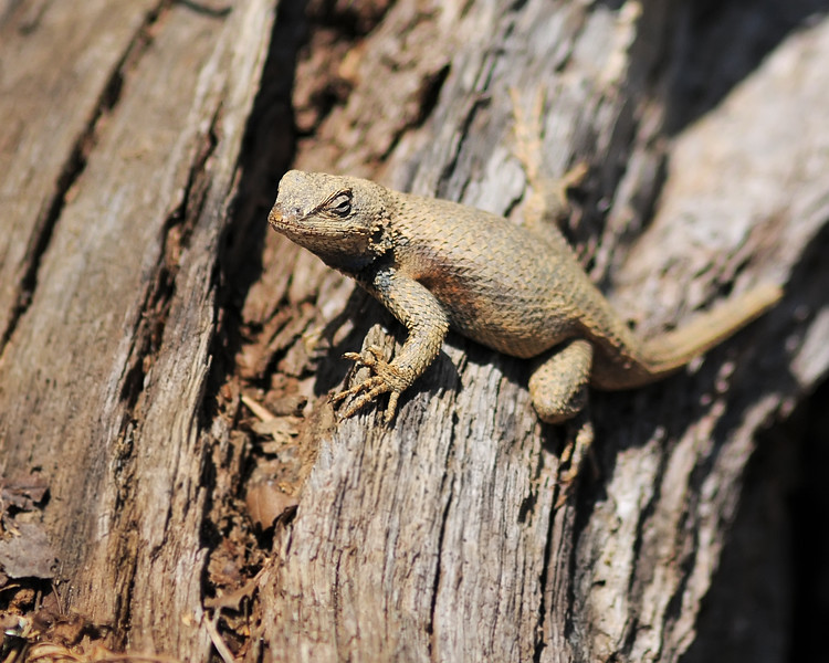 Mar 19th,  Meet up with some friends for a walk at Calvert Cliffs State Park.  It was a really nice day, but a little to bright for the camera.  I did find a Northern Fence Lizard in a slightly shaded area.  This guy was out enjoying the sun like we were.
