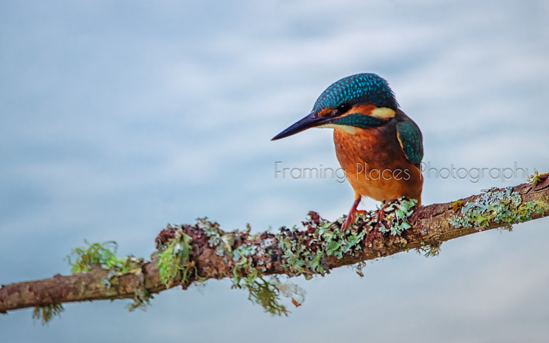 Alert Kingfisher