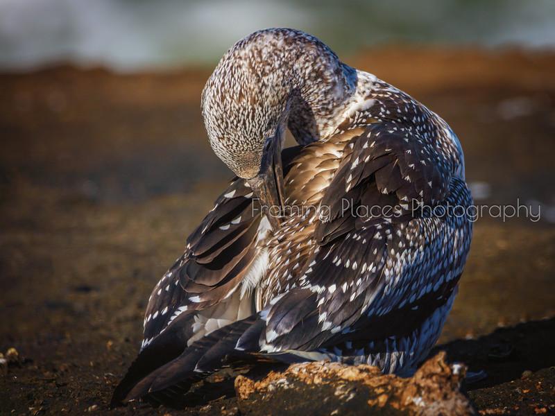 Grooming Gannet