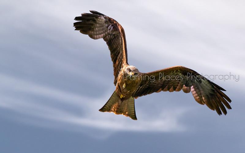 Black Kite Staring