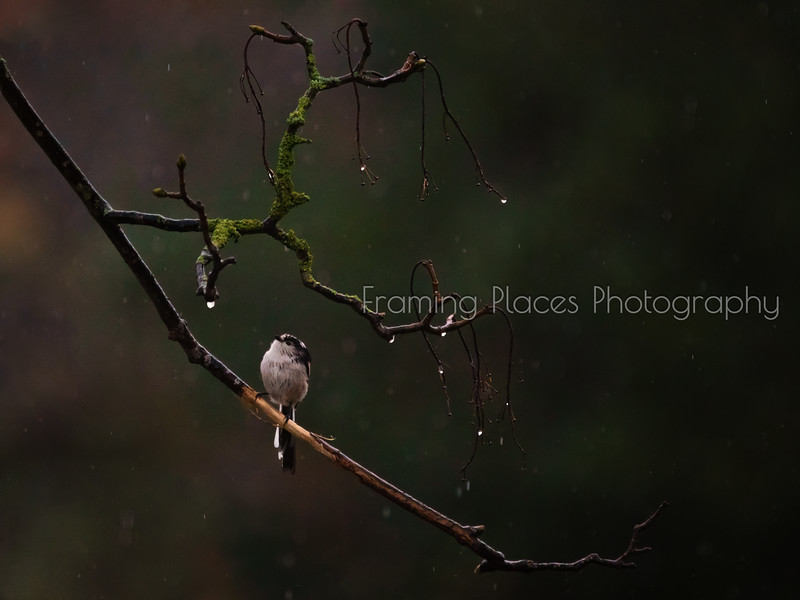 Long-Tailed Tit In The Rain