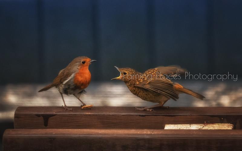 Feeding Robin #2