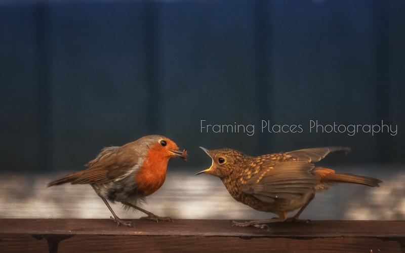 Feeding Robin #1