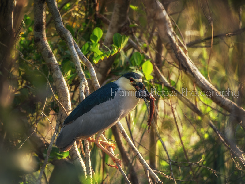 Green Heron's Catch