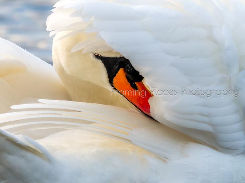 Grooming Swan
