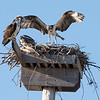 """So, in addition to seeing how the osprey were fairing, this outing was a test of a borrowed camera lens.  The wind was so strong during my previous visit to this nest that my camera, which was mounted on a tripod, blew over.  Not good.  Both the camera and lens are now at the Nikon repair facility.  A friend allowed me to borrow a Sigma 150-600 lens.  I mounted it on a Nikon D810 full-frame camera, a 36 megapixel beast, and then adjusted the camera settings to """"crop"""" mode, which meant the camera was shooting at the equivalent of 900mm.  That's a lot to ask of a lens.  All things considered, the Sigma did fine."""