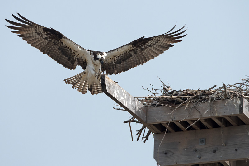 2017 has been a banner year for osprey in the Bay Area, even though many of them have shifted where they nest.  The return of bald eagles  has forced osprey out of some of their fresh-water nesting spots, but the osprey have taken up residence along the Richmond shoreline in huge numbers.  Without even trying, we found 5 nests, all occupied.