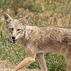 I was testing out my new 500mm prime lens.  Hmmmm... didn't take long to find the downside.... this coyote was too close!!  Plus it took many shots for me to master focus (still not mastered).