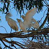 Snowy egret parent (big hair, wings at its side) getting ready to depart