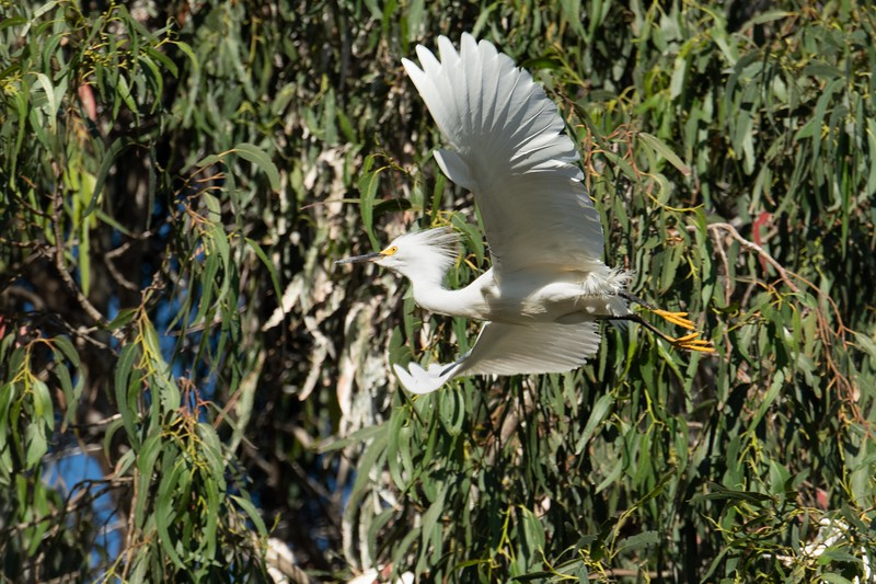Snowy egret.   I was late in getting to the rookery this year.  The chicks were large and feedings infrequent.  Last entry is a short video.