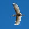 Backlit shot of a great egret.