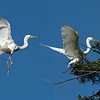 Composite of an adult great egret  returning to the nest