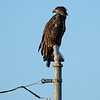 When we arrived around 6:15 AM, Pfizer was perched on this pole looking at her mother who was perched on another more distant pole.  We assume Pfizer is female because she's huge.  Most female raptors are larger than their mates.