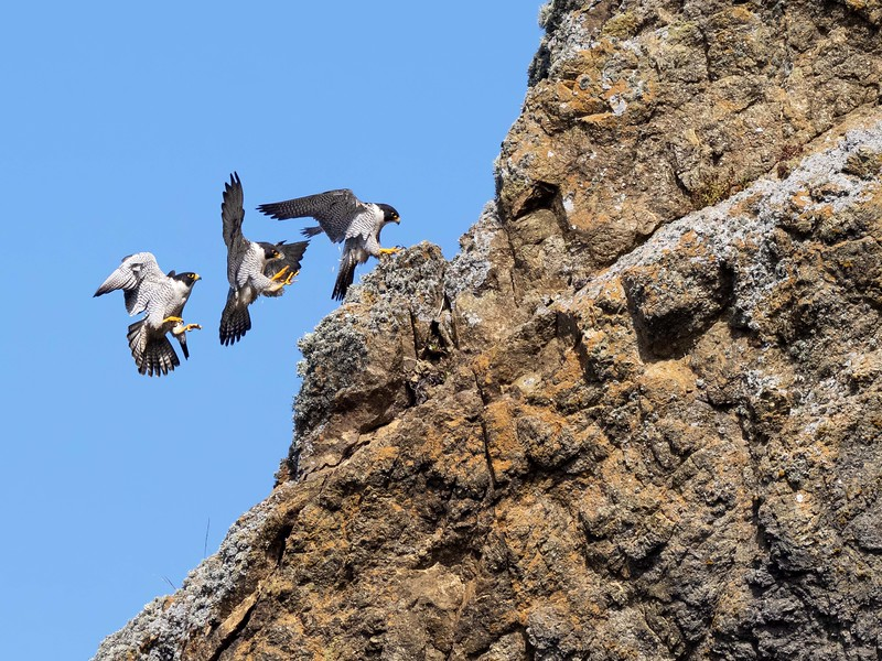 Peregrine falcons have been nesting at Devil's Slide just south of San Francisco for years, but not until I met a group of East Bay photographers did I find this out.  This is a 3-shot composite of the male landing on the cliffs.
