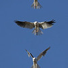 Composite of the male hunting.  Kites flutter until they spot prey, at which point they swoop down to scoop it up.