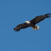 "At about 8:30 one of the many photographers yelled ""incoming!""  I believe this is the female (very large) with a decapitated fish.  The first thing osprey and eagles do upon catching a fish is rip its head off."