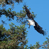 At just about this point, she changed her mind, possibly because her mate was also incoming.