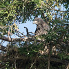 10 days later.....  junior is huge!