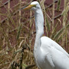 That big lump in the egret's throat is the still-alive lizard.