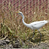 We moved on to a different park and spotted this egret hunting.  I'd never seen this behavior before.... the egret's feet stayed planted, but it moved its body side to side, probably following the erratic movement of its prey.