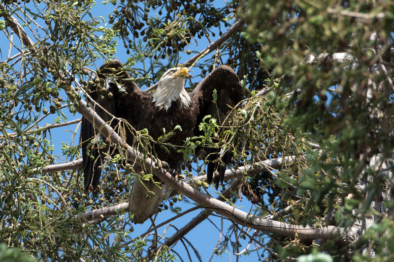 The bald eagle story is so uplifting, it offers hope we can survive even Donald Trump.  Perched on the brink of extinction, these magnificent creatures have been saved by, drum roll, humans.  As incredible as this seems, the photos in this gallery were taken at a bald eagle nest in Milpitas, Ca.  There are now at least 13 pairs of nesting bald eagles in the greater San Francisco Bay Area.  It's a miracle.