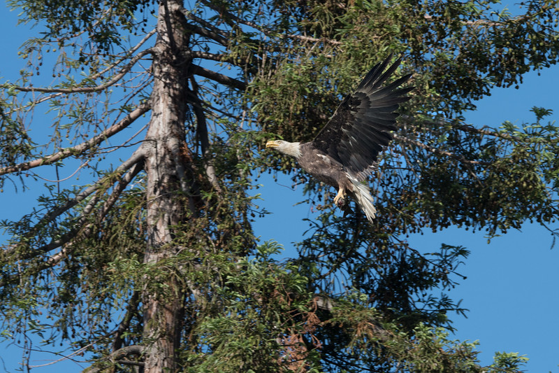 She did an about face and circled the tree before returning to land in the nest.