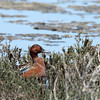 We stopped for lunch at a beautiful spot fronting a salt marsh pond.  This is a cinnamon teal.