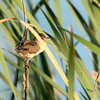 We went to Don Edwards Regional Park, a mostly wetlands area rich with nesting birds at this time of year.  This is a marsh wren singing.