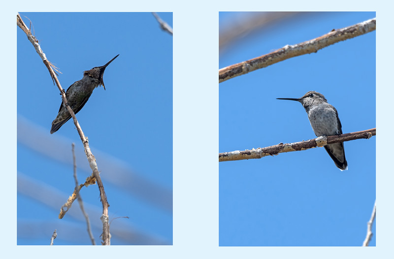 These two hummingbirds landed on the same branch, but the sharing was short-lived.  Hummers are amazingly aggressive and territorial.