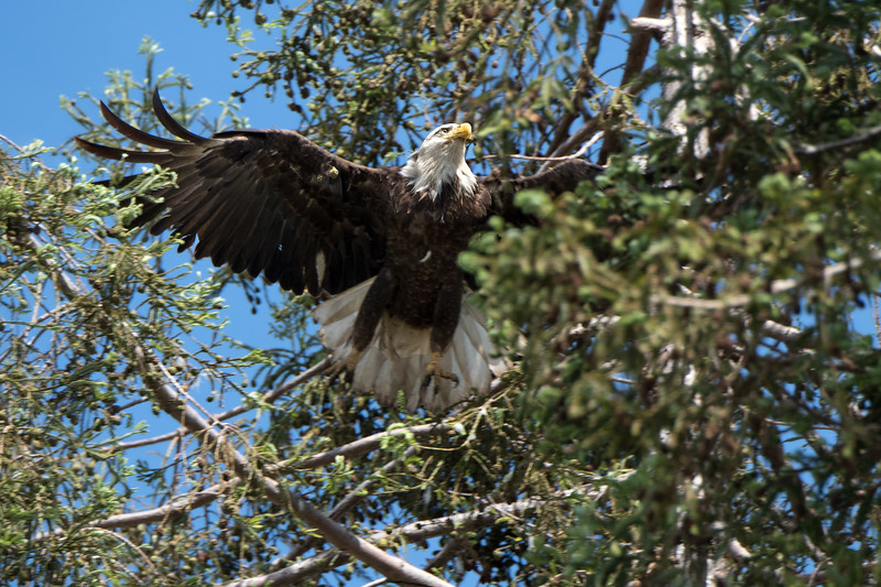 This is the female.  She was sitting on her nest when we arrived, but moved off to a different tree as soon as the male showed up with food.