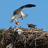 As noted, ospreys feed on fish.  Every now and then one will accidentally catch a waterbird, but that's similar to a shark mistaking a surfer for a seal.<br /> <br /> Ospreys are skilled hunters, successfully grabbing a fish about every 4th try.  Unfortunately, in Richmond the ospreys hunt on the other side of the point, a short flight for them but out of sight from their nests, so we couldn't watch the nests and fishing ospreys at the same time.